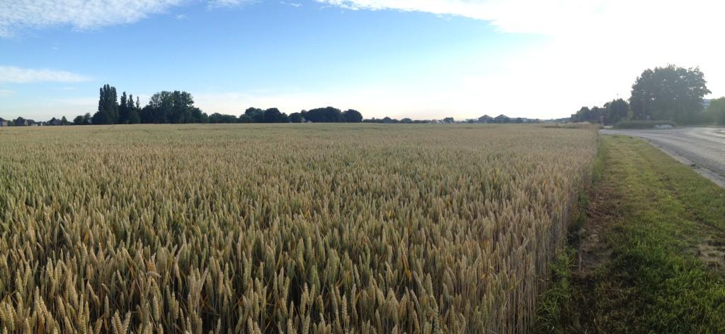 wheat field img